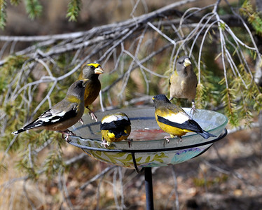 Evening grosbeaks gathering for a drink!