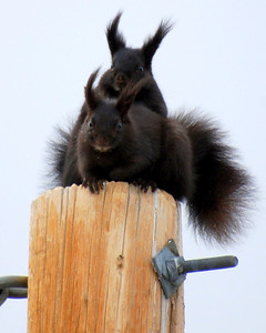 Not the greatest shot....but oh how I love these cute little squirrels!! They are called Abert's squirrel...totally adorable.  Had to shoot thru the window...but they were so cute. They were both on the ground eating and something startled them...so up the pole they went!!