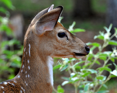 Baby fawns are so cute!