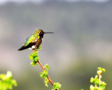 This was the meanest little hummer...It kept chasing us and diving at our heads! I took this one back in may...so i don't know if it was guarding a nest or what...but it was sure trying to get us!
