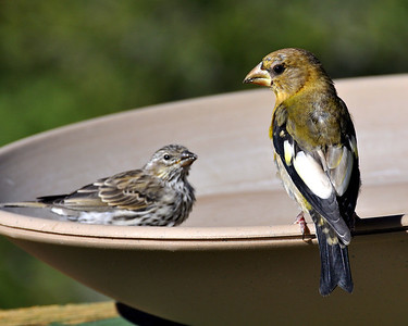 Male evening grosbeak and pine siskin!