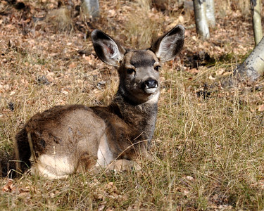 Sweet baby mule deer!