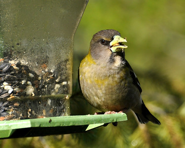 Female evening grosbeak!