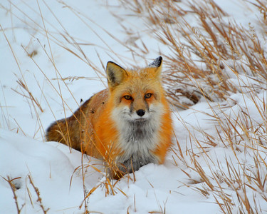 Say cheese!  I so love these red fox...they are just so beautiful.  Thank you all so much for the comments on the big monster buck..y'all are the greatest! I sure hope his eye heals quickly.