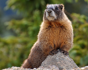 Posing Pretty!!  Hello everyone...its been way too long!! I'm still kicking and still out snapping those shots...but I just can't seem to make myself post the shots!! Hope everyone has been doing well and hopefully I will make myself get back into posting daily! This marmot made my day when we came around the curve...there it was posing so nicely for me...just like he was greeting us..lol...they are soo cute!!