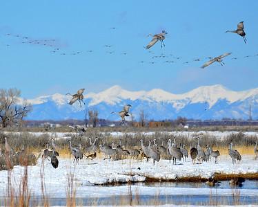 Sandhill cranes...Monte Vista,Colorado!
