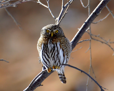 11 Mile Canyon..Lake George,Colorado...Northern pygmy owl! What a cutie.