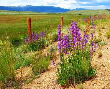 A few Colorado wildflowers!