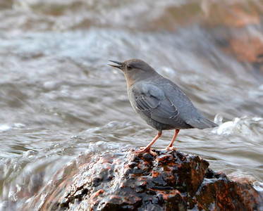 American Dipper...these birds are hard to catch still!