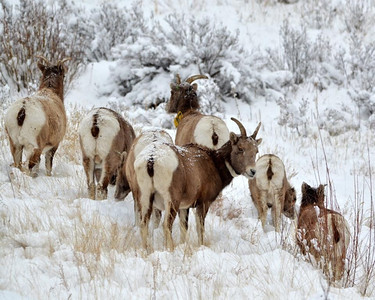 Big horns in the snow!
