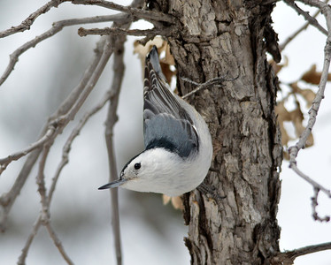 Cute little nuthatch!