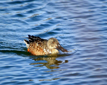 Northern Shoveler....lots of pretty ducks everywhere!!