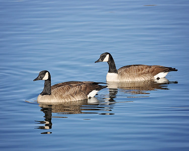 Two geese a swimming!