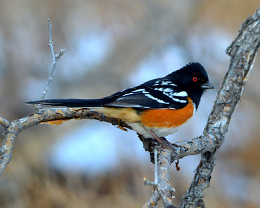 Love the eyes on a towhee!