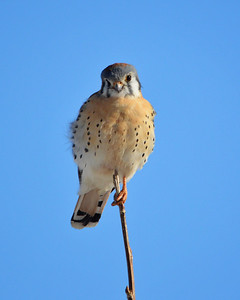 Got my eye on you..lol!   American Kestrel...what a cute little face.