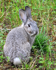I saw this cute little bunny yesterday at a wildlife refuge...I think somebody may have turned loose their Easter bunny,because it didn't look or act like a wild bunny to me! Hope it survives in the wild.