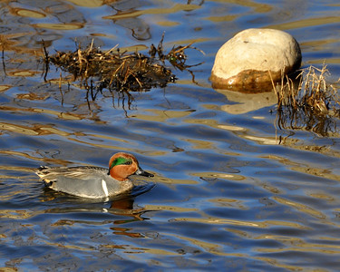 Green-Winged Teal...saw this fella at Prospect Park in Wheat Ridge,Colorado.