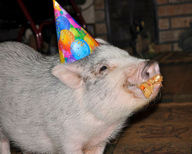 Bernie's 1st Birthday!! He enjoyed his watermelon birthday cake topped with peanut butter and raisins!