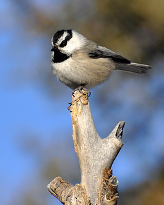 Cute little mountain chickadee!