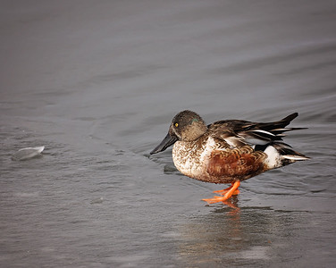Northern Shoveler  Walking on thin ice!!