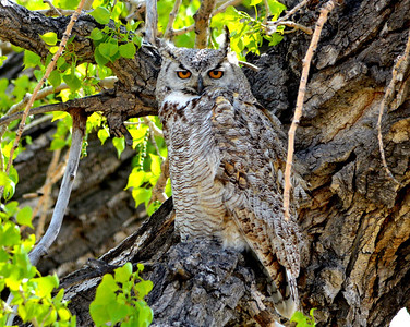 Great Horned Owl..this is one of the parents to the three babies I posted yesterday!