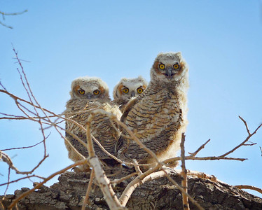 These three crack me up with those looks they have!! Great Horned Owlets...what some cuties!!