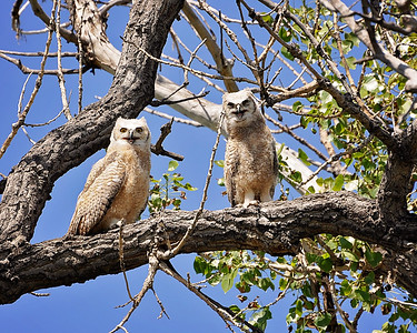 Ha..Ha..you look funny!!  My internet had been down for over a week..thank goodness they came out and fixed it today!!! Anyways this is two great-horned owlets that we found at Barr Lake in Colorado last week. It was a hot day as you can tell,looks like they are laughing at me..but they was actually so hot they were panting!!