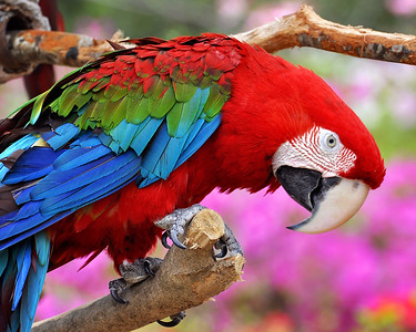 Another very colorful bird...love that red!