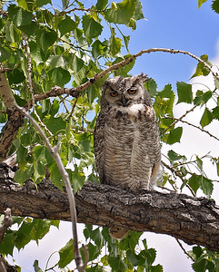 Keeping an eye out on the babies..they were in the tree next to this one..looks like she needs a rest! This was taken at the Rocky Mountain Arsenal..always find something good there!