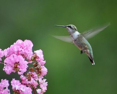 Little hummer in flight..gonna miss them when they leave!