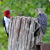 Red-Head and Red-Bellied..squabbling over the food!!<br /> <br /> I can't believe I have went so long without posting..just can't seem to get motivated!
