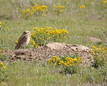 What are you looking at lady??  Had to share one more of another burrowing owl I found. In this one you can see its home,as well! They use abandoned prairie dog holes for their home. They are just super cute. This one was taken at Pawnee national Grasslands in Colorado..its a pretty cool place to see lots of birds..was hoping to see the swift fox that lives there..but never could find them..maybe next time!