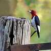 I just love these red-headed woodpeckers..they are so beautiful!