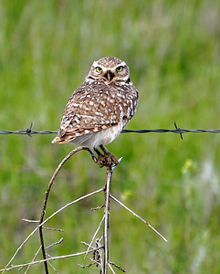 Burrowing Owl..  I have looked everywhere for one of these little cuties and I finally found some! I think they are the coolest little owls.