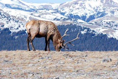 One more of the elk, when he decided to get up and graze! Thanks for all the comments on my picture of him yesterday, it was an amazing sight to see! It was a great trip.