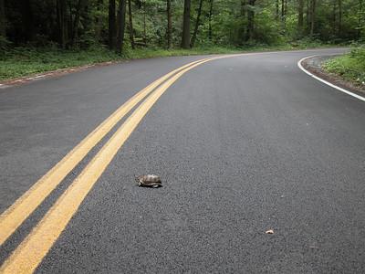 Random turtle #3, Denton Valley Road, Shady Valley, TN.