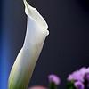 06-02-07-Calla lily