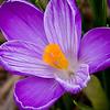 03-16-09-Garden crocus-2