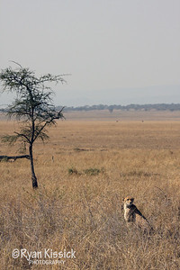 Cheetah in the African savanna
