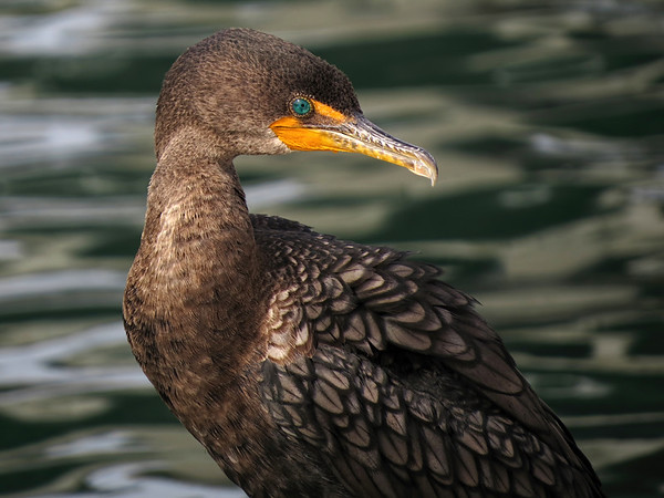 This cormorant and I were on opposite floating docks at a harbor, bobbing up and down out of sync. It was fun trying to time and compose this shot.