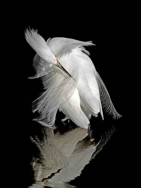 This beautiful Snowy Egret preening reminds me of a elegant ballet dancer.