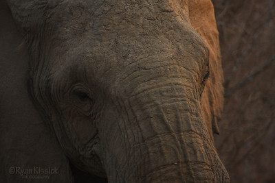 African elephant face