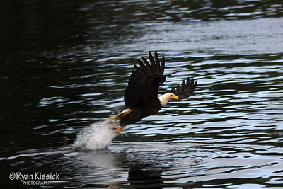 Bald eagle swooping down to catch its prey