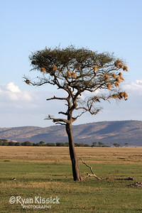 A lone Acacia tree in Grumeti Reserve. The nests belong to birds called weavers