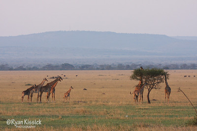 Giraffes in the Grumeti savanna