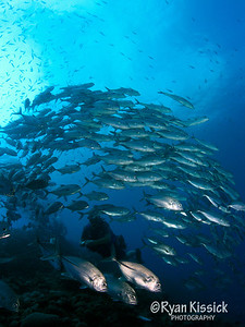 Diver surrounded by a large schools of jacks at Mary Island