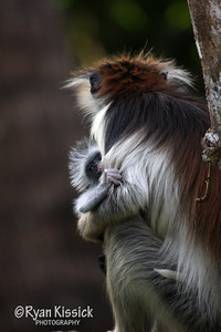 Baby red colobus monkey takes a peak from behind mom