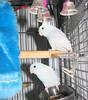 Blue Parrotlets