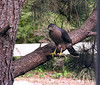 My Backyard Hawk