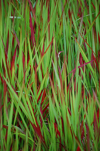 Blood grass